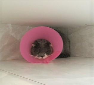 貓咪結紮完帶頭套